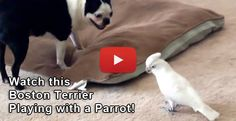 Funny Parrot Playing with a Boston Terrier Dog (Video) - Watch the Video at → http://www.bterrier.com/funny-parrot-playing-with-a-boston-terrier-dog-video/ - https://www.facebook.com/bterrierdogs
