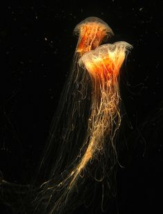 Jelly Fish at Aquarium of the Pacific in Long Beach, CA