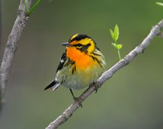 Blackburnian Warbler (Setophaga fusca). May 11, 2018. Magee Marsh. Exotic Birds, Birds Of Prey, Bird Watching, Creatures, Nature, Funny Things, Amazing Gifts, Love Birds, Beautiful Birds