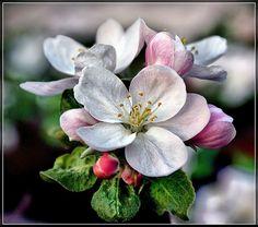 цветок яблони: 11 тыс изображений найдено в Яндекс.Картинках Apple Tree Blossoms, Apple Blossom Flower, Apple Flowers, Dogwood Flowers, Spring Blossom, Red Flowers, Spring Flowers, Cherry Blossom, Fruit Picture
