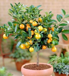 Dwarf citrus trees can be grown in containers indoors during the winter months then brought outside when the weather warms. Indoor citrus trees are our favorite easy-care small trees. Indoor Fruit Trees, Indoor Plants, Indoor Gardening, Urban Gardening, Container Gardening, Small Gardens, Outdoor Gardens, Patio Trees, Citrus Trees