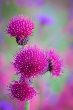 The flowers of Cirsium rivulare