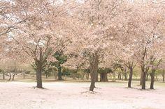 奈良公園 桜吹雪