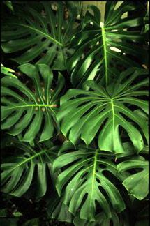 new Ideas for plants monstera tropical leaves Tropical Leaves, Tropical Flowers, Tropical Plants, Tropical Gardens, Monstera Deliciosa, Faux Philodendron, Trees To Plant, Plant Leaves, Apartment Plants