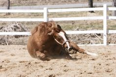 An equine behavior expert considers the reasons why horses might roll after baths.