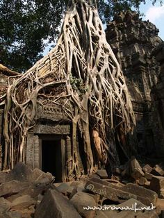 Rooted doorway at Ta Promh, Angkor Wat, Angkor, Cambodia.