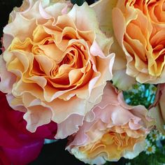 "David Austin Garden ""Juliette"" Roses."
