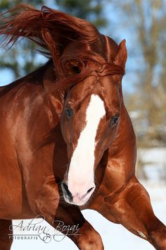 Horse / Emperator (Adrian Bozai)
