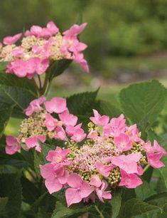 Let's Dance Starlight....lacecap hydrangea...2-3' Pink flowers