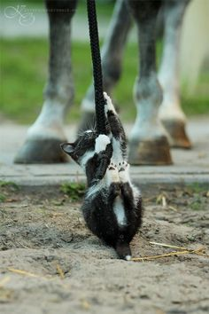 Kitten climbing a lead rope!