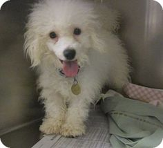 t Uggie Breed: Bichon Frise/Havanese Mix Color: White Age: Young Size: Small 25 lbs (11 kg) or less Sex: Male