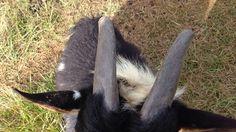 Dulling Goat Horns – Old Man Stino