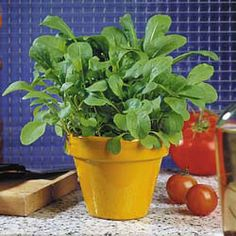 Apollo Arugula - Improved Dutch strain of domesticated rocket. Very large, rounded leaves are high in vitamin C. Excellent taste and rarely bitter. Will produce 3-5 cuttings per sowing if kept well picked. 40-45 days.