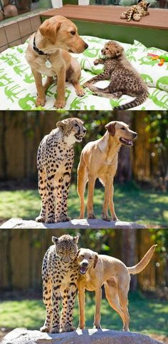 Kasi And Mtani, Baby Cheetah And Puppy from Busch Gardens, Florida, Celebrate One-Year Friendship. Link to video of them playing together.