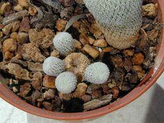 Epithelantha micromeris della famiglia delle Cactacee