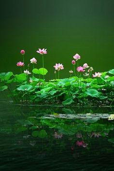 Lotus for pond in the Zen garden Love Flowers, Wild Flowers, Beautiful Flowers, Beautiful Beautiful, Water Flowers, Purple Flowers, Lotus Pond, Belle Photo, Mother Nature