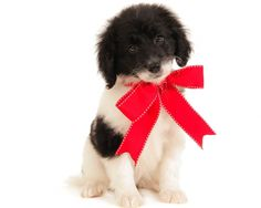 #Smeraglia 's Daily Red Ribbon Girl is Darla Smeraglia #TeddyBearGoldendoodle , F3 Medium; Parents Daily and Tucker; DOB 11.12.15 Ready to go home 01.08.16; #DoodleDynasty #PartiDoodle #DoodleKisses #FurBaby #HappyNewYear #GodPeopleDogs #PuppyLove #ColdNoses #DoodlePrepSchool #TrainedPup