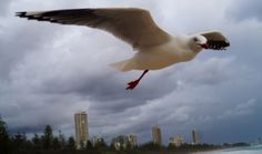 The one leg Seagull