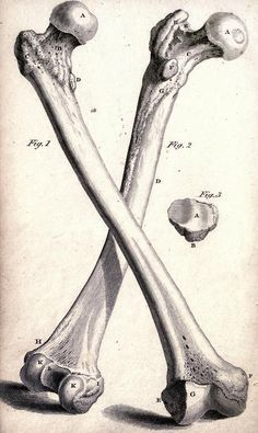 Cheselden's Plates of the Human Bones, by William Cheselden, 1814 print / Femur / Anatomical <3