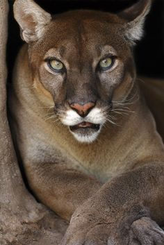 Mountain Lions are so beautiful... Wow.