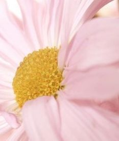 and PINK! Pink Daisy, Pink Yellow, Pink And Gold, Pale Pink, Pink Love, Pretty In Pink, Pink Flowers, Beautiful Flowers, Yellow Cottage
