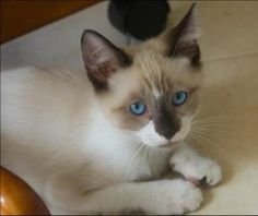 Woodstock is an adoptable Snowshoe Cat in Douglasville, GA. Woodstock is just the cutest little thing! He's a snowshoe Siamese mix, and he's super-sweet and playful. Woodstock is 12 weeks old as of Ju...
