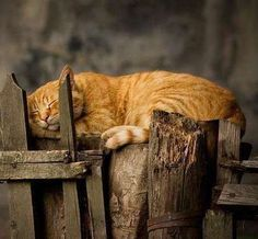 sleeping orange cat - Orange Cat - Ideas of Orange Cat - sleeping orange cat The post sleeping orange cat appeared first on Cat Gig. Chats Tabby Oranges, Cute Cats, Funny Cats, Adorable Kittens, Image Chat, Orange Tabby Cats, Photo Chat, Cat Sleeping, Ginger Cats