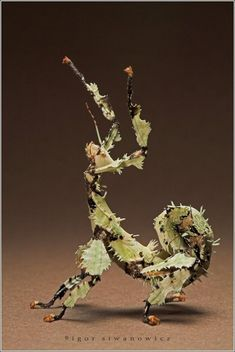 spiny leaf insect, lichen style