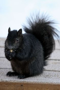 Previous Pinner: Black Squirrels were imported to Kent, OH from Canada. You could practically keep them as pets at Kent State - they were hardly afraid of humans. Black Animals, Animals And Pets, Funny Animals, Cute Animals, Wild Animals, Black Squirrel, Cute Squirrel, Squirrels, Black Sheep