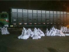 A Polícia Federal apreendeu 1,4 tonelada de maconha em um caminhão usao para transportar gado em Caarapó, cidade a 264 quilômetros da capital de Mato Grosso do Sul, na segunda-feira (1º). Segundo a  ...