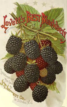 vintage blackberries labels - Google zoeken