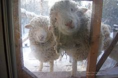 Sheep see you! Farm Animals, Animals And Pets, Funny Animals, Cute Animals, Beautiful Creatures, Animals Beautiful, Animal Pictures, Cute Pictures, Baa Baa Black Sheep