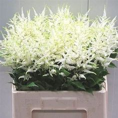 Astilbe Wahsingthon is white & gives a beautiful softening effect to flower arrangements & bouquets. 60cm tall and wholesaled in 10 stem wraps.