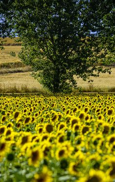 Sunflowers - Zamora, Castile and León, Spain