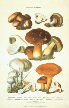 Fungi I  Art Print  |  By Anton Hartinger  |  Item #: 10332683A