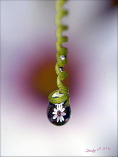 Daisy in a drop