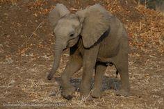 Cheeky little elephant