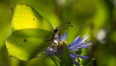 Sitruunaperhonen Butterflies, Garden Ideas, Animals, Lemon, Animaux, Animales, Butterfly, Backyard Ideas, Animal