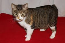 Cat of the Week Kristine is a female Manx mix who is about 14 months old. She likes other cats and is fine with children. She loves to be petted.
