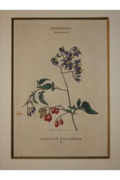 ズルカマラ,Solanum dulcamara