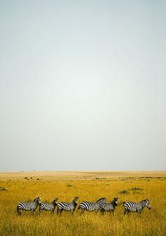 Zebras in Masai Mara - Kenya