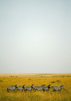 luckyskye: Zebras in Masai Mara - Kenya (by Eric Lafforgue)   - Explore the World with Travel Nerd Nici, one Country at a Time. http://travelnerdnici.com