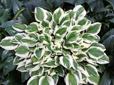 Small Hosta Cultivar Wider margined sport of Diamond Tiara'. The wider white margins contrast nicely with the dark green leaves.  Vigorous grower that wil