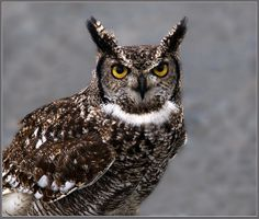 Spotted eagle owl portrait - bubo africanas by hawkgenes (John Booth)