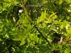 Sunburst Honey Locust | Gledíčia trojtŕňová Sunburst (Vzplanutie slnka) | Gleditsia triacanthos Sunburst