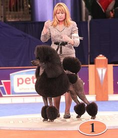 Standard Poodle Non-Sport Group Winner AKC/Eukanuba National Championship dogs