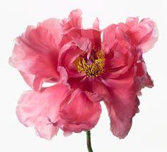 "Paul Lange, Big Blooms, ""GIOVINA"" (2014)"
