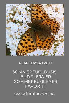 Hvem ønsker seg ikke sommerfugler i hagen? Sommerfuglbusk - Buddleja har en enorm tiltrekningskraft på sommerfuglene, og for et syn, når det så og si er kødannelse på Sommerfuglbusken. #sommerfuglbusk #buddleja #butterfly #sommerfugl #hageinspirasjon #planteportrett #trädgårdsinspiration Portrait, Plants, Animals, Animales, Headshot Photography, Animaux, Portrait Paintings, Animal, Plant