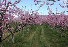 Peach orchard, Washington state