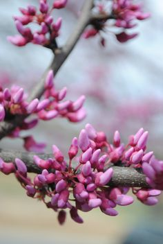 Red Bud tree   (Cercis canadensis)
